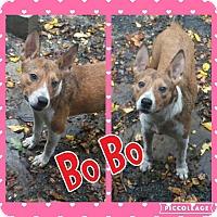 Adopt A Pet :: Bo Bo - Cranston, RI
