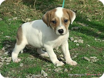 Bulldog/Beagle Mix Puppy for adoption in Waterbury, Connecticut - CLAIRE/ADOPTED