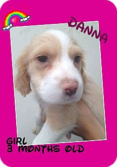 Retriever (Unknown Type)/Border Collie Mix Puppy for adoption in LAKEWOOD, California - Danna