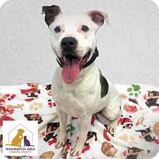 Pit Bull Terrier Mix Dog for adoption in Eighty Four, Pennsylvania - Bambi