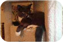 Domestic Shorthair Cat for adoption in Manalapan, New Jersey - Linus