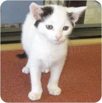 American Shorthair Kitten for adoption in Los Alamitos, California - Squeaks