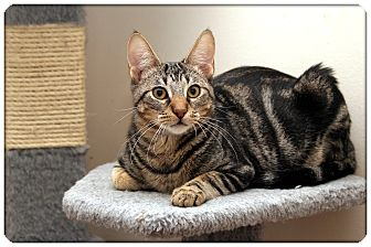 Domestic Shorthair Cat for adoption in Sterling Heights, Michigan - Newman - ADOPTED!