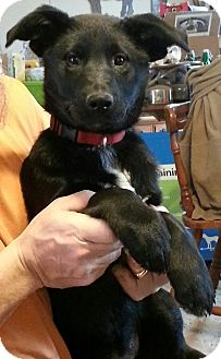 German Shepherd Dog/Labrador Retriever Mix Puppy for adoption in Nashville, Tennessee - Emma