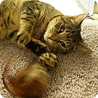 Domestic Shorthair Cat for adoption in Chandler, Arizona - Jessie