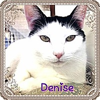 Domestic Shorthair Cat for adoption in Huntington, New York - Denise
