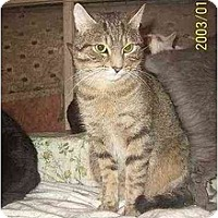 Domestic Shorthair Cat for adoption in Nepean, Ontario - SUNDANCE