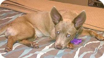 Terrier (Unknown Type, Medium) Mix Puppy for adoption in Del Rio, Texas - Hazel