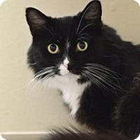 Adopt A Pet :: Poof - Novato, CA