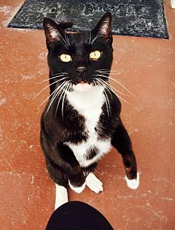 Domestic Shorthair Cat for adoption in Cincinnati, Ohio - zz 'Boots' courtesy list