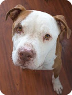 Pit Bull Terrier Dog for adoption in Santa Monica, California - Duncan