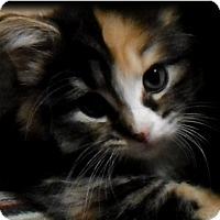 Adopt A Pet :: Socks - Chicago, IL
