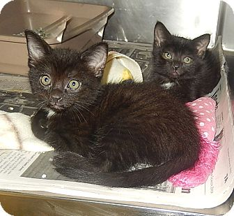 Domestic Mediumhair Kitten for adoption in Newport, North Carolina - Kittens 2