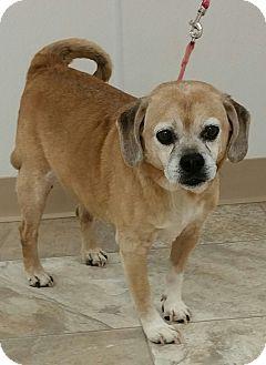 Pug/Beagle Mix Dog for adoption in Urbana, Ohio - Ben