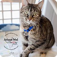 Adopt A Pet :: Lotus - Lakewood, CO
