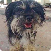 Adopt A Pet :: Merry (BH) - Santa Ana, CA