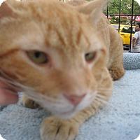 Adopt A Pet :: MR B  aka Mr. B Larsson - New york, NY
