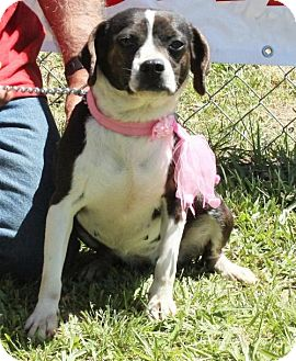 Boston Terrier Mix Dog for adoption in Grayson, Louisiana - Mina