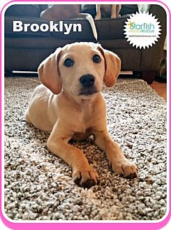 Labrador Retriever Mix Puppy for adoption in Plainfield, Illinois - Brooklyn