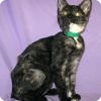 Domestic Shorthair Cat for adoption in Powell, Ohio - PheePhee