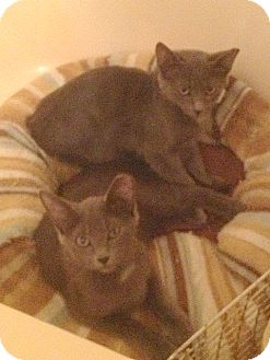 Russian Blue Kitten for adoption in Fowlerville, Michigan - Rocky and Bullwinkle