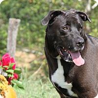 Labrador Retriever Mix Dog for adoption in Marietta, Ohio - Triton (Neutered) - Update