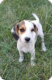 Beagle/Beagle Mix Puppy for adoption in West Springfield, Massachusetts - Simon