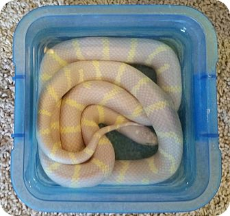 Snake for adoption in Greenfield, Indiana - Pineapple