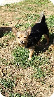 Yorkie, Yorkshire Terrier Dog for adoption in Columbia, Maryland - Valentina