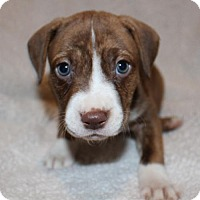 American Pit Bull Terrier Puppy for adoption in Edina, Minnesota - Poliwag D161626: PENDING ADOPTION