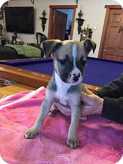 Shepherd (Unknown Type)/Boxer Mix Puppy for adoption in Blossvale, New York - Maggie (Wendy-Blossvale)