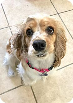 Cocker Spaniel Dog for adoption in Sherman Oaks, California - Lulu