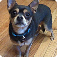 Chihuahua Mix Dog for adoption in Beloit, Wisconsin - Brutus