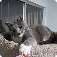 Adopt A Pet :: Gris - San Diego, CA
