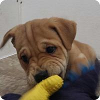 Adopt A Pet :: Coco Riley - Snow Hill, NC