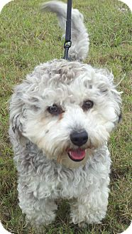 Schnauzer (Miniature)/Poodle (Miniature) Mix Dog for adoption in Norwalk, Connecticut - Georgie - adoption pending