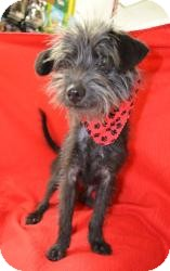 Schnauzer (Miniature)/Yorkie, Yorkshire Terrier Mix Dog for adoption in Dallas, Texas - Faith