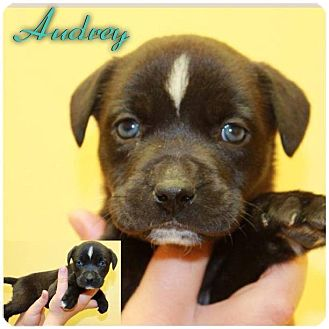 Audrey Adopted Puppy Garden City Mi Rhodesian Ridgeback Husky Mix