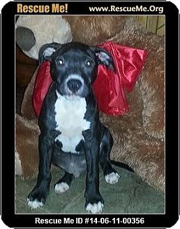 Pit Bull Terrier Mix Puppy for adoption in Memphis, Tennessee - Tucker