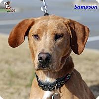Adopt A Pet :: Sampson - Alpharetta, GA