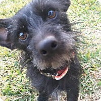 Adopt A Pet :: Cricket - San Antonio, TX