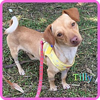 Adopt A Pet :: Tilly - Hollywood, FL
