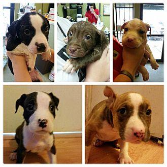Boston Terrier/Bulldog Mix Puppy for adoption in HARRISBURG, Pennsylvania - THE C LITTER