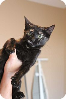 Domestic Shorthair Kitten for adoption in Acworth, Georgia - Hester Prynne