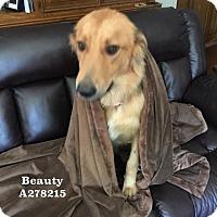 Adopt A Pet :: BEAUTY - Conroe, TX
