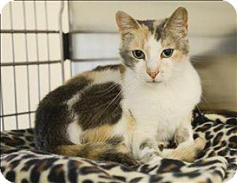 Domestic Shorthair Cat for adoption in Sherwood, Oregon - Gilli