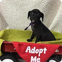 Adopt A Pet :: Babs - Plainfield, IL