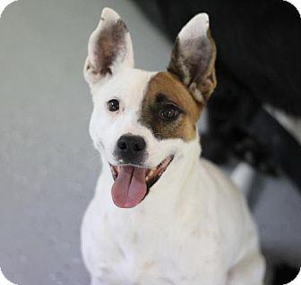 Cattle Dog Mix Dog for adoption in Phoenix, Arizona - Nelly