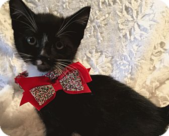Domestic Shorthair Kitten for adoption in El Dorado Hills, California - Pepe