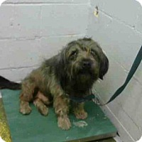 Petit Basset Griffon Vendeen Dog for adoption in Atlanta, Georgia - CHEWBACA